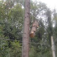 Abbattimento cedro