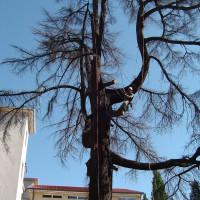 Abbattimento cedro del libano secco