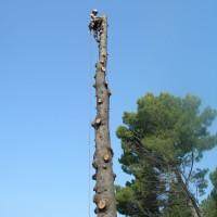Abbattimento cedro secco