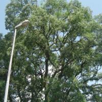 Potatura Celtis Australis (Bagolaro) secolare