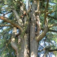 Potatura di un cedro secolare