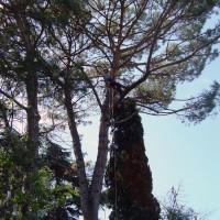 Rimozione delle parti secche di un pino domestico