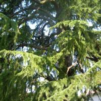 Rimozione delle parti secche da un cedro