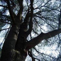 Rimozione delle parti secche da un cedro dell'Atlante secolare