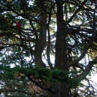 Potatura di un cedro secolare con rimozione delle parti secche
