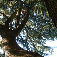 Potatura di alleggerimento della chioma di un cedro