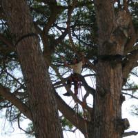 Potatura grosso pinus pinea